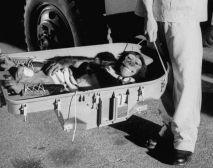 Ham, o chimpanzé, retorna à Terra após seu passeio histórico de 16 minutos pelo espaço em 1961