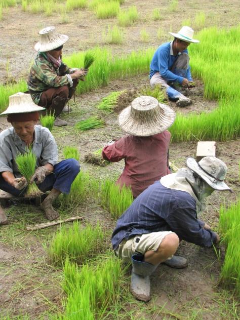 Familia replantando arroz na Tailandia (Charles Zimmermann)